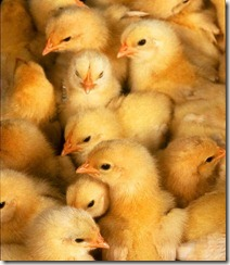 baby-chickens1