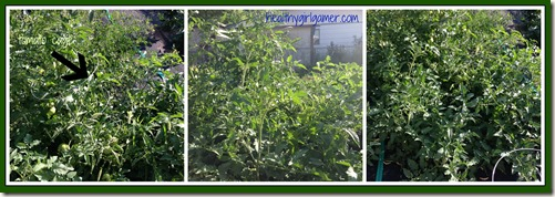 tomato overgrowth